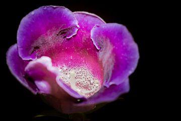 Violette Blume von Theo Kamans