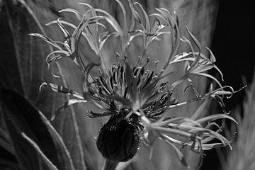 Korenbloem in zwartwit van Wim Bodewes