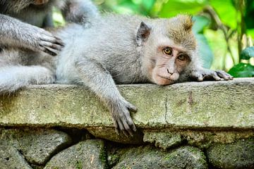 Indonesien: Affen auf Bali von Coby Bergsma