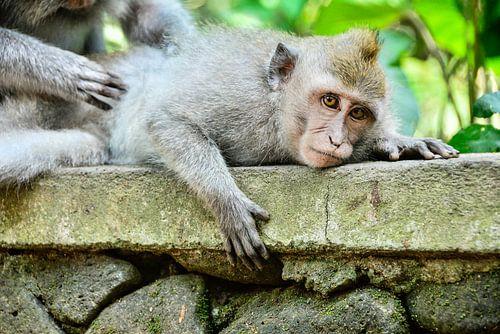 Indonesie: Apen van Bali