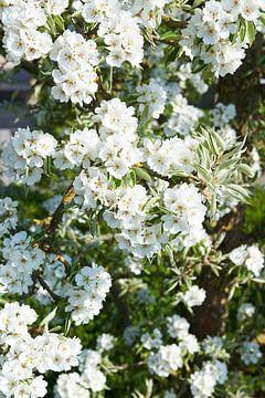 Fleur de poirier au printemps sur Fred Roest