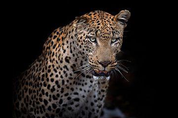 Luipaard Maximus van De Afrika Specialist