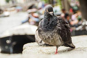 Portret Amsterdamse stadsduif aan de gracht