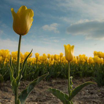 Yellow Tulips 1 van Arjan Benders