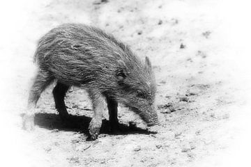 Wildschweinferkel -wild  boar piglet von Dagmar Marina