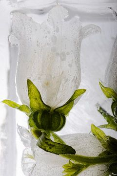 Witte klokbloem in ijs 3 van Marc Heiligenstein
