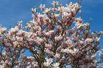 Magnolienbaum van Rolf Pötsch