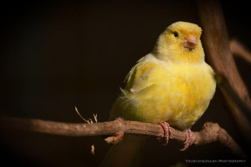 Gele vogel in stadsdierentuin Alkmaar van Teus van Keulen