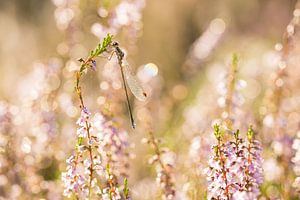 Pantserjuffer in roze
