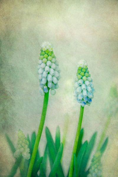 Blue Muscari von Claudia Moeckel