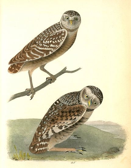 Uil, Burrowing Day-Owl., Audubon, John James, 1785-1851