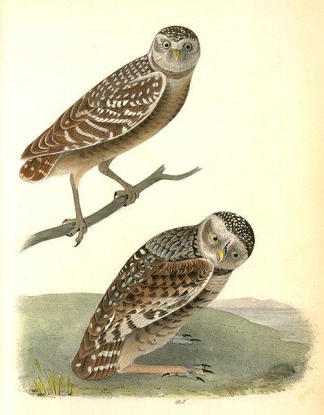 Uil, Burrowing Day-Owl., Audubon, John James, 1785-1851 van Liszt Collection
