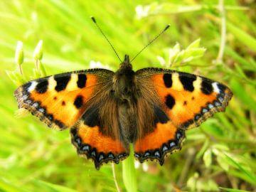 Poserende vlinder. von André Mesker