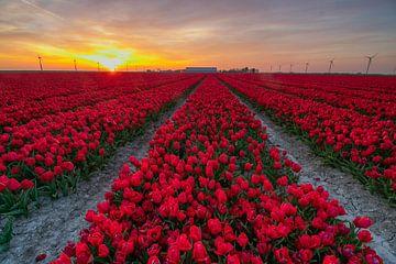 Tulpenfeld bei Sonnenuntergang auf Flevoland von Arthur Puls Photography