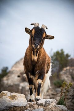La chèvre 2 von gerald chapert
