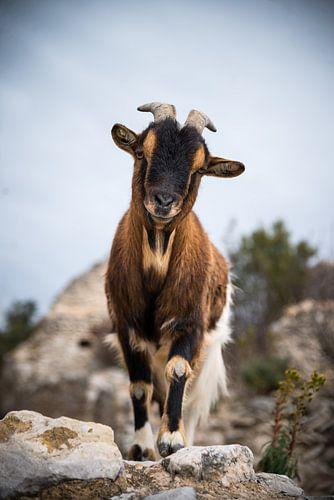 La chèvre 2 van gerald chapert