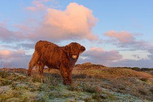 Le veau écossais Highlander au sommet d'une dune vient vers moi