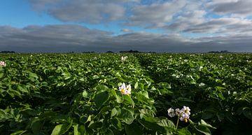 Bloeiende aardappelplanten van Bo Scheeringa