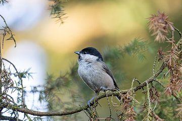 Glänzende Kopf Vogel zwischen den Kiefernzweigen von John Stijnman