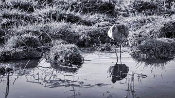 Die Uferschnepfe, eine schöne ständige Bewohnerin des Wormer und Jisperveld von Studio de Waay