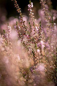 Dromerige roze heide in bloei van KB Design & Photography