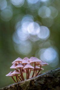 Roze paddestoelen