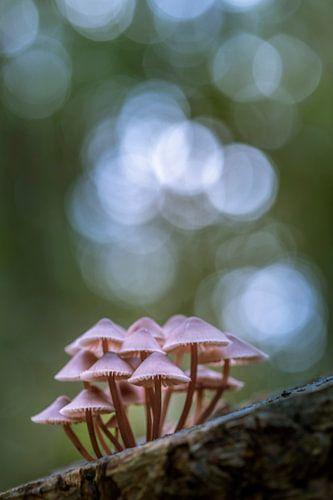 Roze paddestoelen van Erik Veldkamp