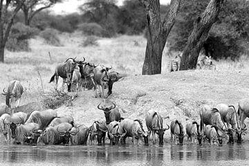 Auf Safari in Afrika: Gnu-Herde trinkt an einer Wasserstelle (schwarz/weiss) von Koolspix