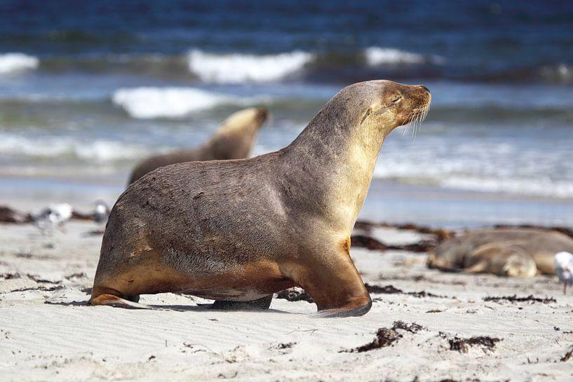 Australische zeeleeuw (Neophoca cinerea) van Dirk Rüter