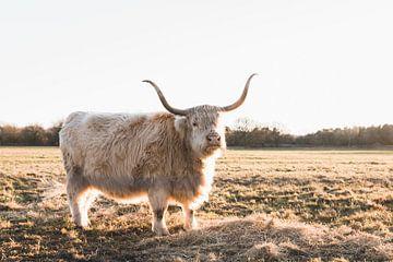 Stier in gouden licht  van Rob Veldman