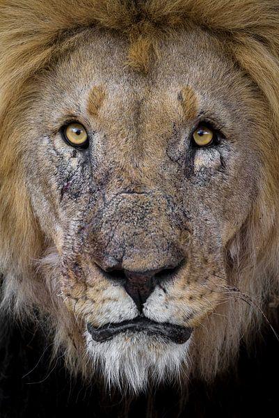 Leeuw met littekens van Richard Guijt Photography