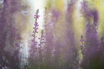 Heidekraut, Erica - Calluna vulgaris 3 von Danny Budts