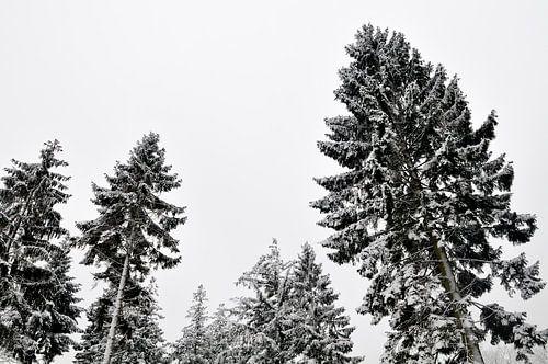 Dennebomen in de winter van Sjoerd van der Wal