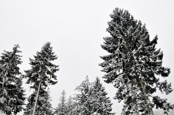 Dennebomen in de winter