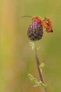 Kleine rode weekschildkevers van Moetwil en van Dijk - Fotografie
