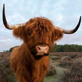 Highlander écossais sur Tamara Witjes