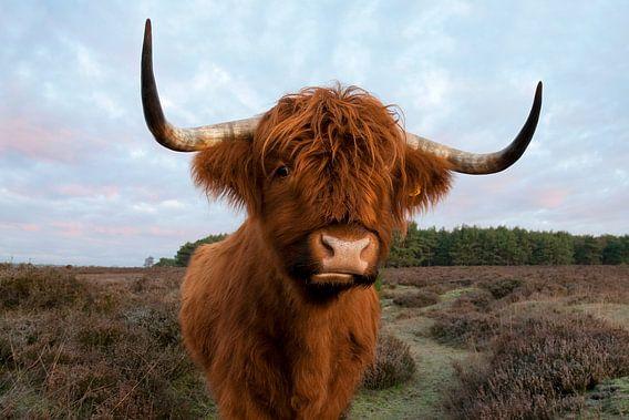 Schotse Hooglander van Tamara Witjes