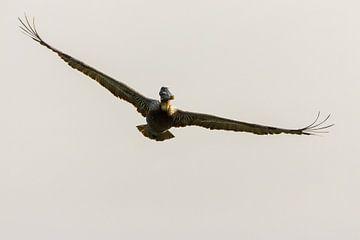 Bruine pelikaan sur ton vogels