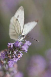 Vlinder aan het genieten van de Lavendel  van