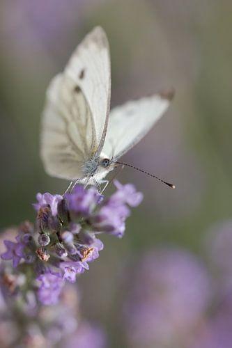 Vlinder aan het genieten van de Lavendel  van Lisa Groothuis