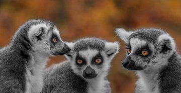 Die 3 Schwestern von Ron Meijer