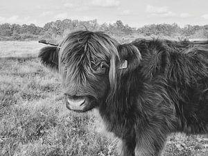 Vache Highlander - noir et blanc