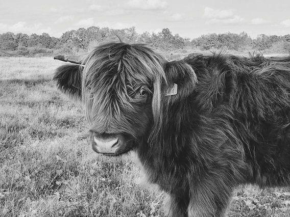 Highlander cow - black&white