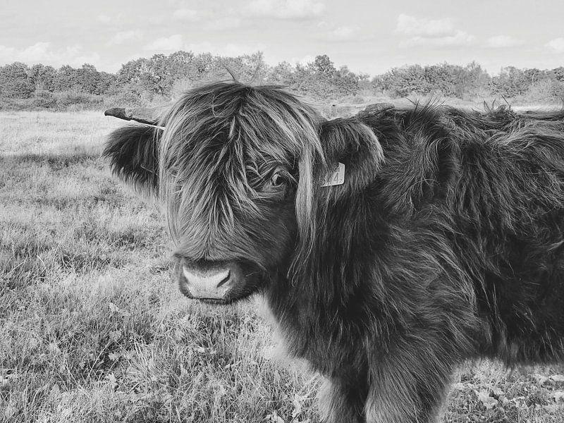 Vache Highlander - noir et blanc sur Esther Venema
