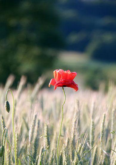 Roter Mohn im Kornfeld