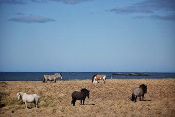 IJslandse paarden met verschillende kleuren van Elisa Hanssen