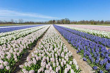 Blumenzwiebelfeld mit den blauen und weißen Hyazinthen in Holland von Ben Schonewille