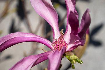 Tulpenmagnolie (Magnolia liliiflora) von Alexander Ludwig