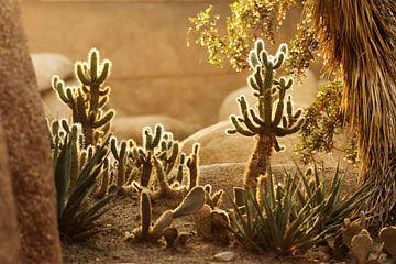 Woestijn van