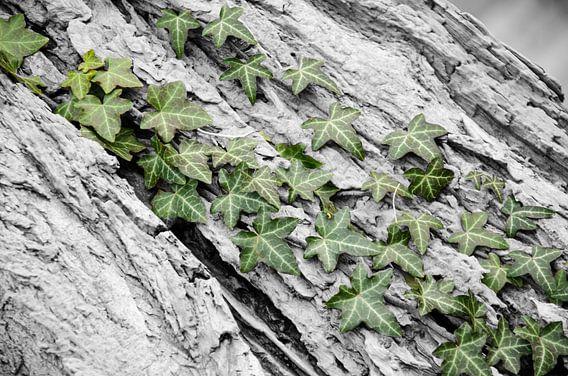 Groene klimop aan de bast van een boom.
